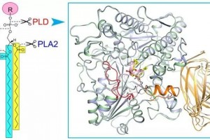 研究揭示真核生物磷脂酶D的结构与机制